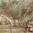 04. Island of Olives